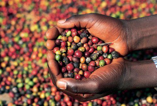 A kávé őshazája, Etiópia