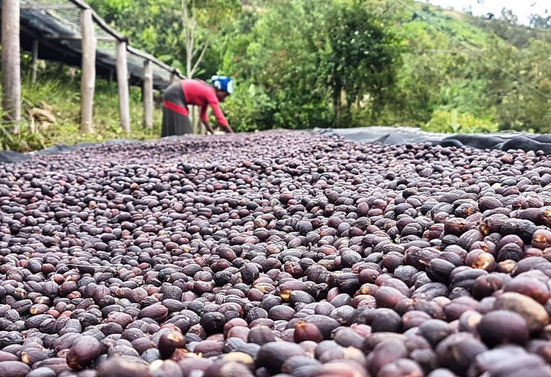 Hogyan befolyásolja a kávé ízét a feldolgozás? barista tanfolyam 1#