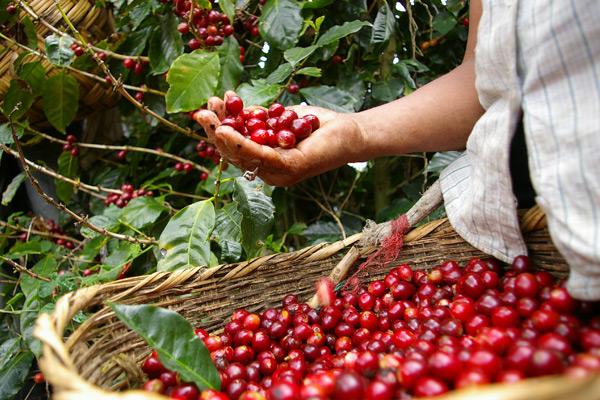 A kávé betakarítása – Kézi vagy gépi szüretelés?